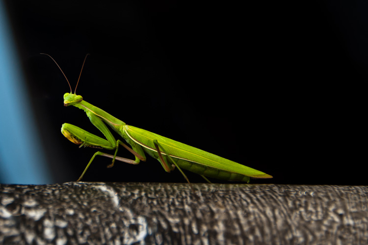 MANTIS